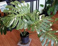 variegated monstera deliciosa aroid swiss cheese