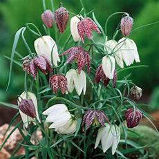 fiori bulbo fiori a bulbo bulbi fiori a bulbo caratteristiche