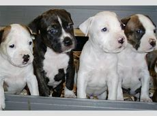American Staffordshire Terrier Breed Information, American