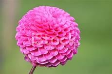 fiore a palla pink pompon dahlia flower dahlias flowering in
