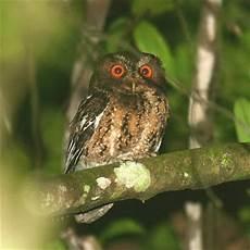 Mengenal Burung Hantu Celepuk Jawa Burung Gue