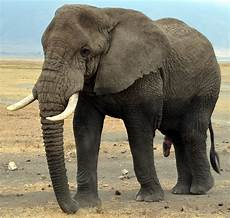 Malvorlage Indischer Elefant Unterschied Afrikanischer Und Indischer Elefant