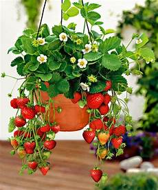 Strawberry Planter Ideas Best Projects The Whoot