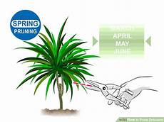 How To Prune Dracaena 11 Steps With Pictures Wikihow