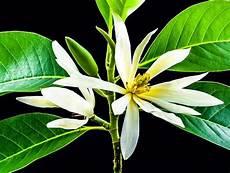 Gambar Bunga Cempaka Yang Indah Kumpulan Gambar