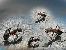 kieselgur für menschen ameisen in der wohnung mit biologischen mitteln loswerden