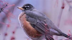 Wallpaper Bird Animal Nature Purple Wings Winter