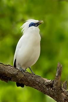 Kicau Burung Burung Jalak Bali