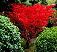 acer palmatum shindeshojo japanese maple