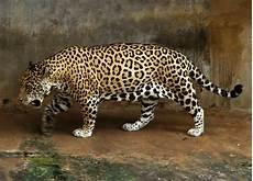 jaguar ou leopard file jaguar jpg