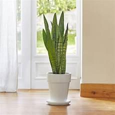sansevieria zeylanica le pot de 18 cm plantes d
