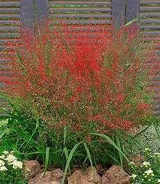 gras für garten rotes liebesgras winterharte pflanzen garten liebesgras