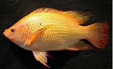 Gambar Induk Ikan Nila Dewasa Bibitikan Net