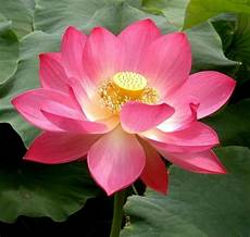pink sacred lotus nelumbo nucifera seeds not water lily easy grow combsh a37 ebay