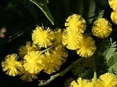 mimose pflanze kaufen soll ich eine mimose kaufen garten haus garten