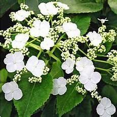 kletterpflanze schatten immergrün die 22 besten bilder immergr 252 ne str 228 ucher garden