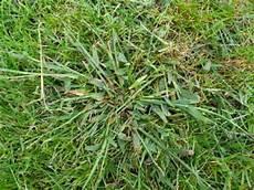 Unkraut Oder Wilde Gr 228 Ser Im Rasen Wer Kennt Dieses Gras