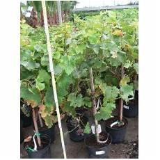 Prix Elagage Cerisier Vente De Cerisier 224 Fleurs Pleureur Prunus Serrulata Kiku