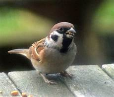 Gambar Burung Gereja Jantan Dan Betina Gambar Burung