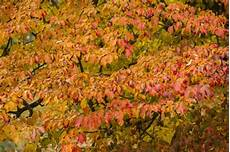 Eisenholzbaum Parrotia Persica Informationen Pflege