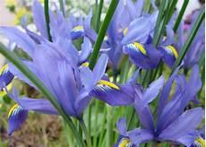 iris fiore immagini iris iris iridaceae