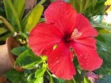 hibiskus im garten tipps zu sorten pflege r 252 ckschnitt