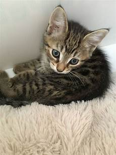 kitten for sale 3 kittens for sale andover hshire pets4homes
