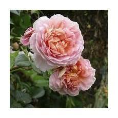 rosier ancien grimpant rosier grimpant ancien souvenir d ang 233 lique grandiflora