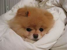 pomeranian tips pictures