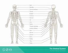 human skeletal system diagram labeled skeletal system definition function and parts biology dictionary