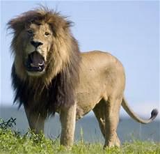 Pictures Foto Gambar Singa Si Raja Hutan