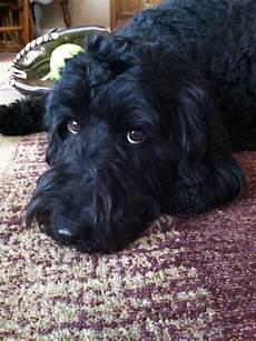 black labradoodle haircuts 25c52cfa885ea7f49561d2903d1287e7 jpg 640 215 856 pixels black labradoodle labradoodle puppy