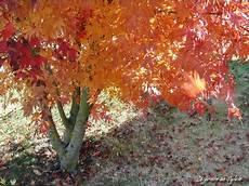 erable nain du japon le jardin de sylvie en photos couleurs d automne l