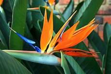 uccelli paradiso fiore uccello paradiso strelizia alba strelizia alba