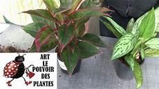 conseils jardinage aglaonema entretien et arrosage