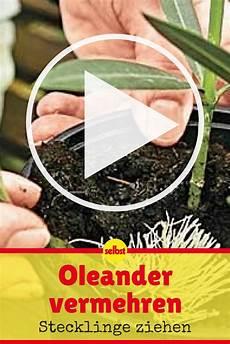 oleander vermehren oleander vermehren stecklinge und