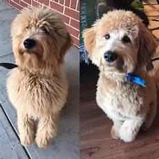 goldendoodle haircuts pets goldendoodle haircuts f1b goldendoodle haircut 6 months goldendoodle doodles dog puppy doodletales labradoodle