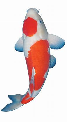 45 Gambar Ikan Koi Png
