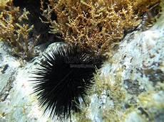 Cepat Pelbagai Contoh Gambar Landak Laut Yang