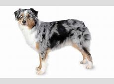 Top 5 Agility Dog Breeds   Dogtime