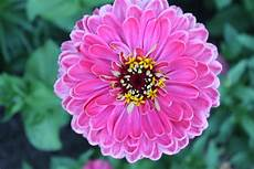 Keep Cut Zinnias Beautiful For Longer Flower Press