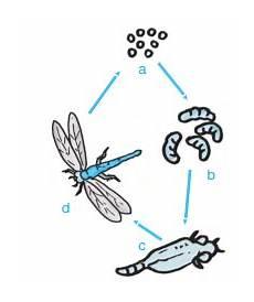 Metamorfosis Tidak Sempurna Pada Belalang Kecoa Dan