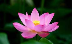 lotus flower meaning and symbolism mythologian net