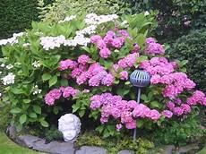 was passt zu hortensien wieviel hortensien kann ich auf 4 meter l 228 nge pflanzen
