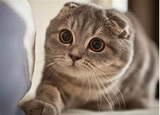 30 Jenis Kucing Dari Seluruh Dunia Lucu Comel Dan