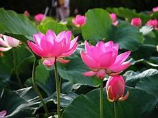 flowers lover blog lotus flowers legends