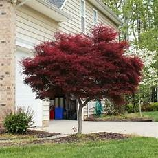 Bloodgood Japanese Maple Fresh Garden Decor