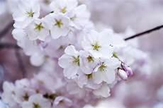 fior di ciliegio 無料の写真 桜の花 花 ロマンチック 日本 さくら 支店 オリエンタル pixabayの無料画像