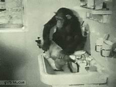 Kitchen Sink Gif by Chimpanzee Washing Cat In Kitchen Sink Gif Luvbat