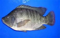 Stress Praktikum Klasifikasi Ikan Nila